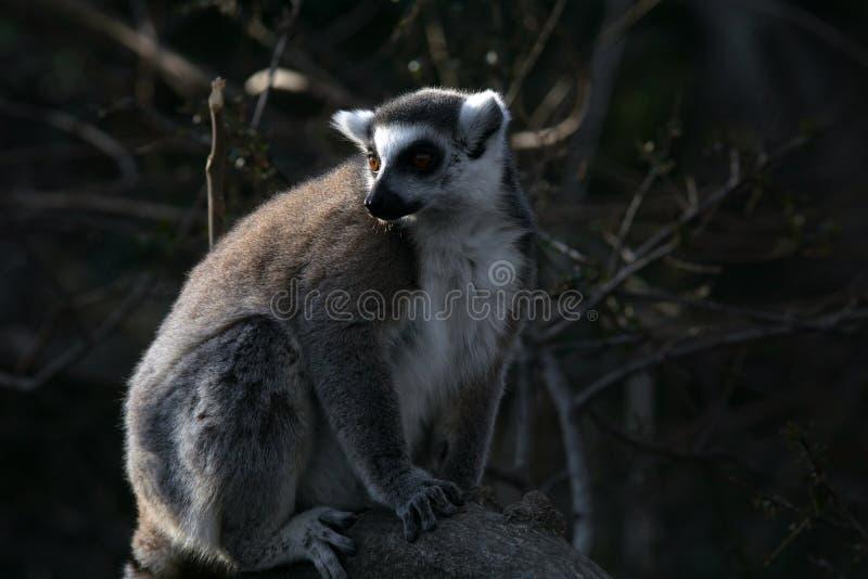 Дикий лемур в Мадагаскаре в Африке стоковая фотография