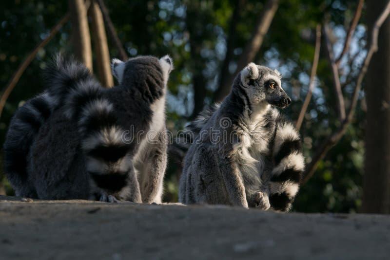 Дикий лемур в Мадагаскаре в Африке стоковое фото