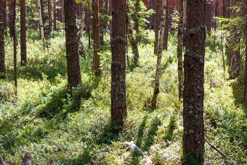 Дикий лес pinery с голубикой стоковое изображение rf