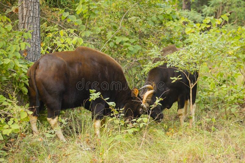 Дикий мужчина Gaurs прокладывая борозды в джунглях стоковые фотографии rf