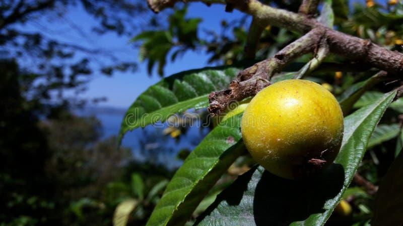 Дикий плод на ветви против голубого моря, реки, озера в южной стране Италия, Desenzano del Garda стоковые фото
