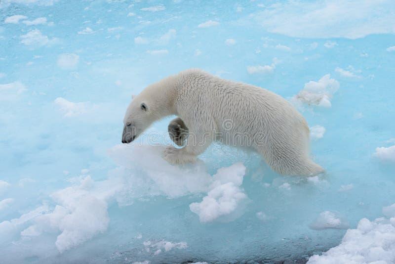 Дикий полярный медведь идя в воду на паковом льде стоковые изображения
