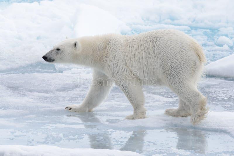 Дикий полярный медведь идя в воду на паковом льде стоковая фотография rf