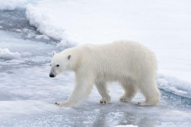 Дикий полярный медведь идя в воду на паковом льде стоковые изображения rf
