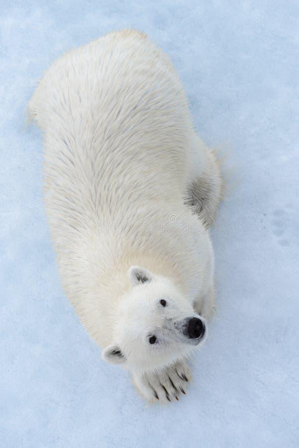 Дикий полярный медведь на паковом льде в ледовитом виде на море от верхнего, воздушный стоковые фотографии rf