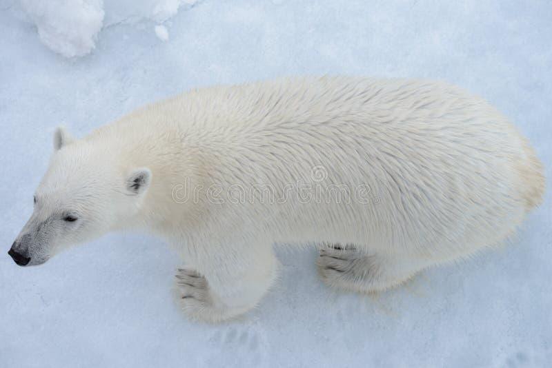 Дикий полярный медведь на паковом льде в ледовитом море от верхней части стоковое фото