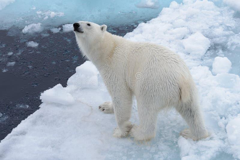 Дикий полярный медведь на паковом льде в ледовитом море от верхней части стоковые изображения