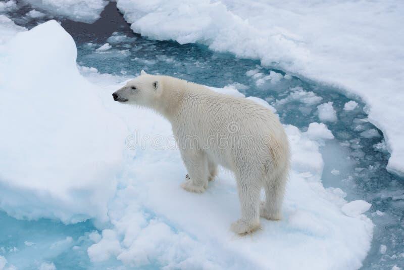 Дикий полярный медведь на паковом льде в ледовитом море от верхней части стоковая фотография