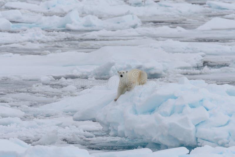 Дикий полярный медведь на паковом льде в ледовитом море стоковая фотография rf
