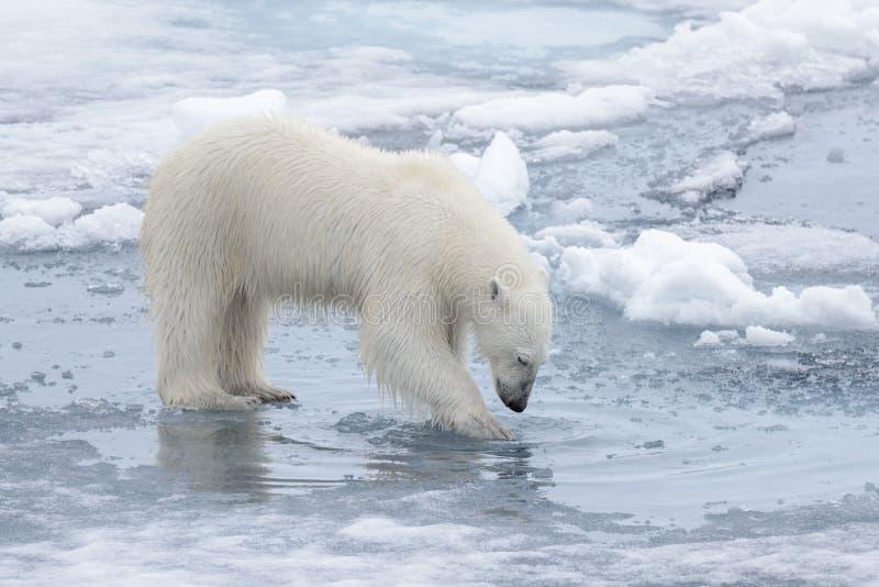 Дикий полярный медведь смотря к его отражению в воде стоковое изображение