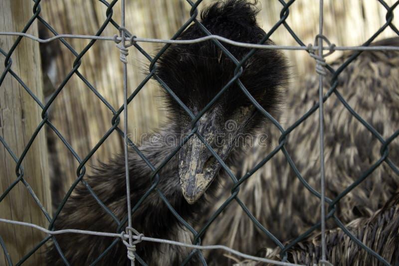Дикий проарретированный страус стоковая фотография rf