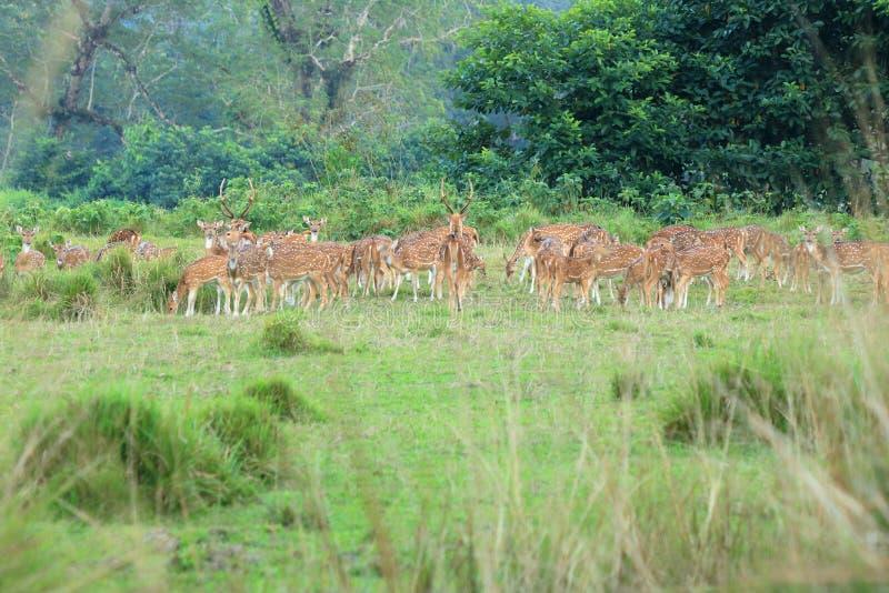 Дикий табун оленей косуль в поле в Непале стоковые фотографии rf