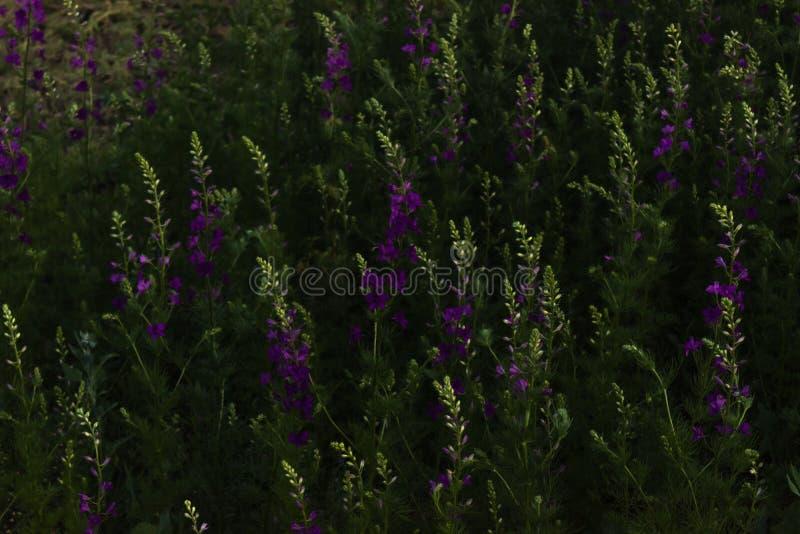 Дикий фиолет плотно растя wildflowers с яркими ыми-зелен стержнями и листья в луге стоковое изображение rf