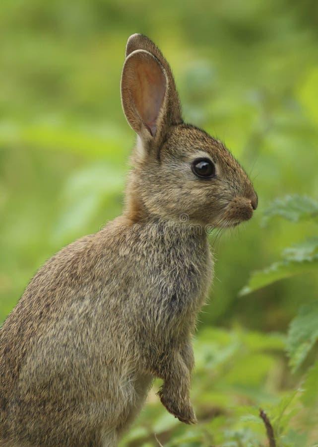 Дикий cuniculus Великобритания Oryctolagus кролика стоковые фото