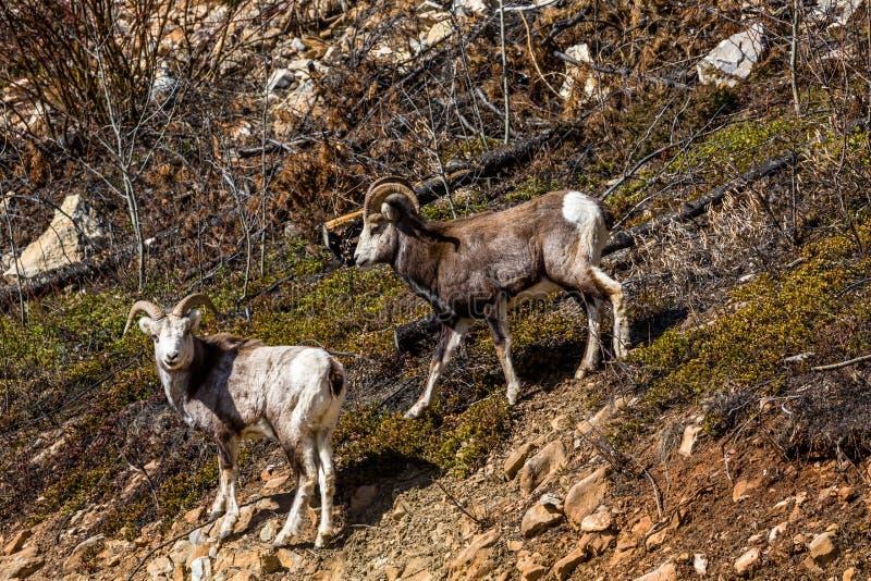 2 диких каменных овцы в удаленной территории Юкона Канады 2 молодых штосселя на наклоне около Британской Колумбии стоковая фотография rf