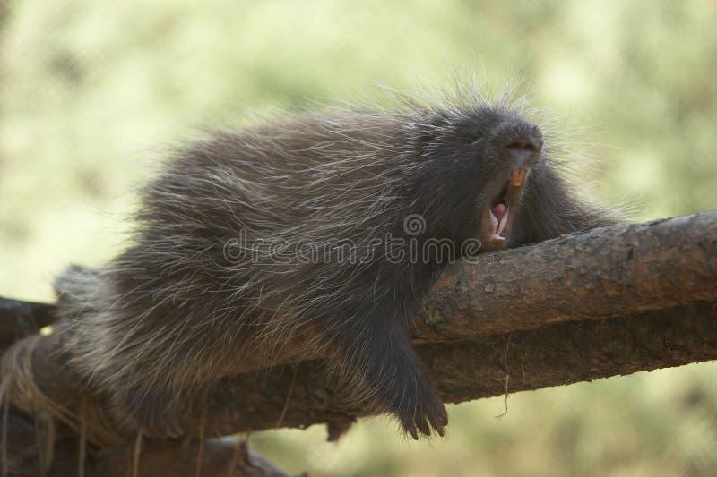 дикобраз зевая стоковое фото