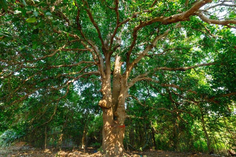 Дикое большое манго дерево стоковые изображения