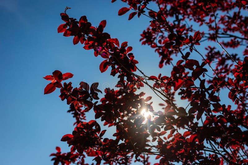 Дикое вишневое дерево стоковая фотография