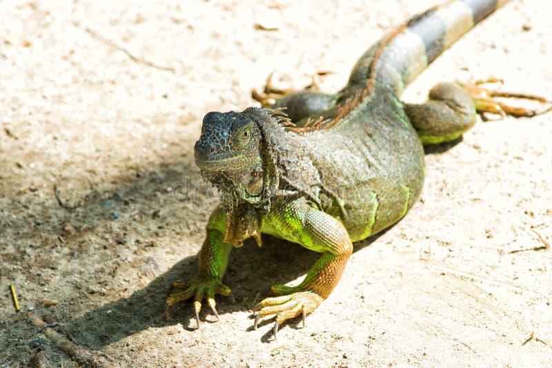 Дикое животное в окружающей среде Сохраните концепцию разнообразия видов Ленивая ящерица ослабляя солнечный день Оглушать природа стоковая фотография rf