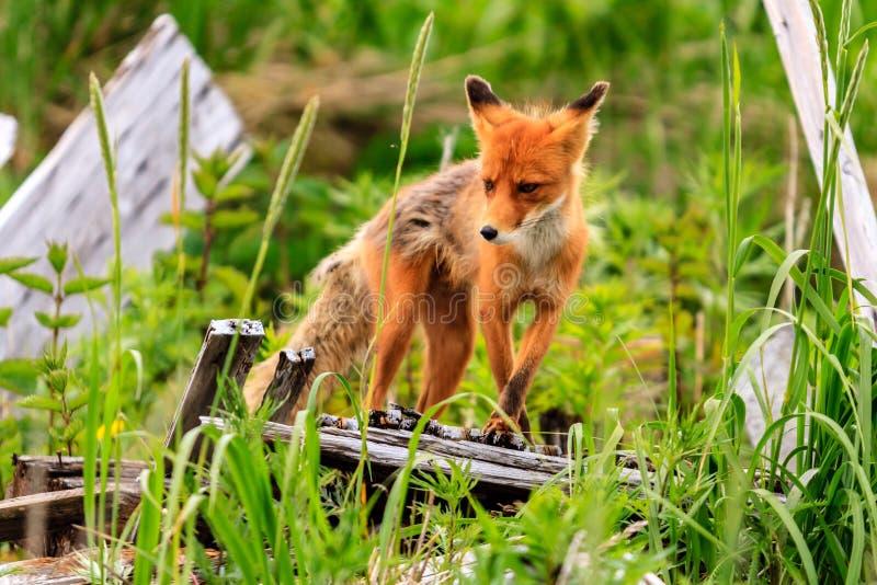 Дикое положение beringiana лисицы лисицы красного Fox в зеленой траве Камчатский полуостров, Россия стоковая фотография rf