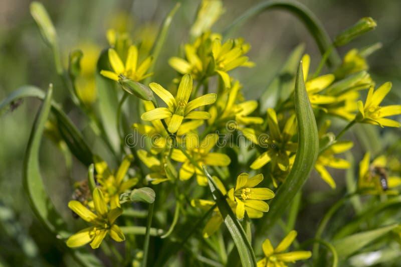 Дикое растение lutea Gagea цветя в лесах во время весеннего времени, цветках проползать groundcover желтых в цветени стоковое фото