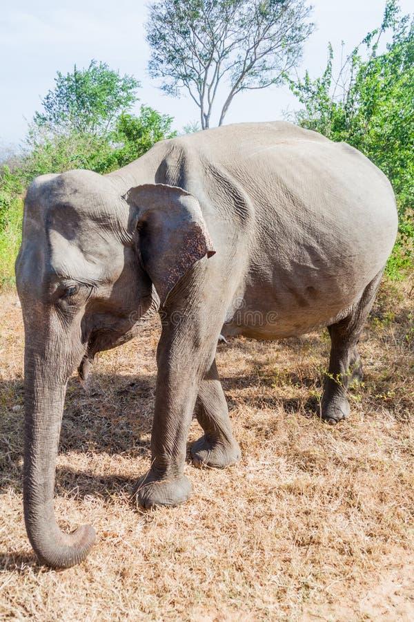 Дикое шриланкийск maximus в национальном парке Udawalawe, Lan maximus Elephas слона Sri стоковое фото rf