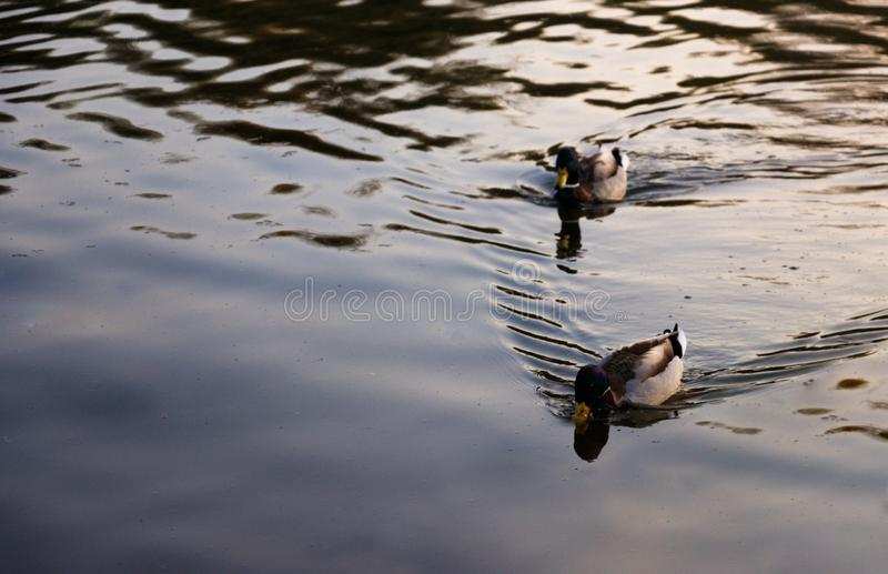 2 дикой утки плавая на озеро стоковое фото