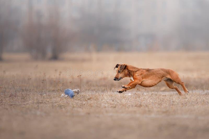 Диск летания собаки заразительный стоковая фотография rf