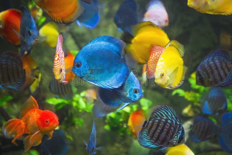 Диск Symphysodon в аквариуме стоковые изображения rf