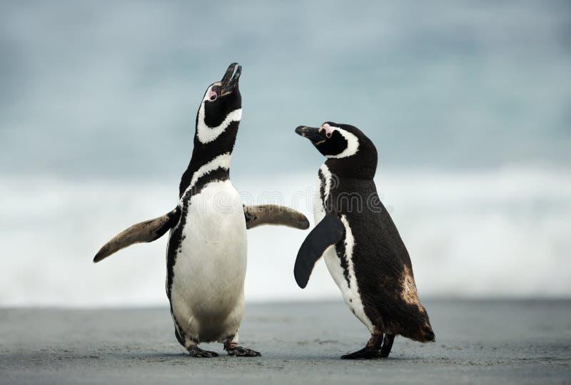Дисплей ухаживания пингвинов Magellanic стоковая фотография rf