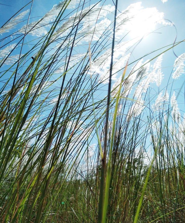 Длинная трава и Солнце с ветерком стоковое фото rf