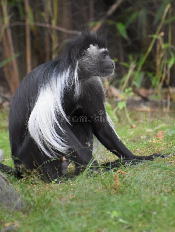 Длинная хламида вниз с задней части обезьяны Colobus стоковые фото