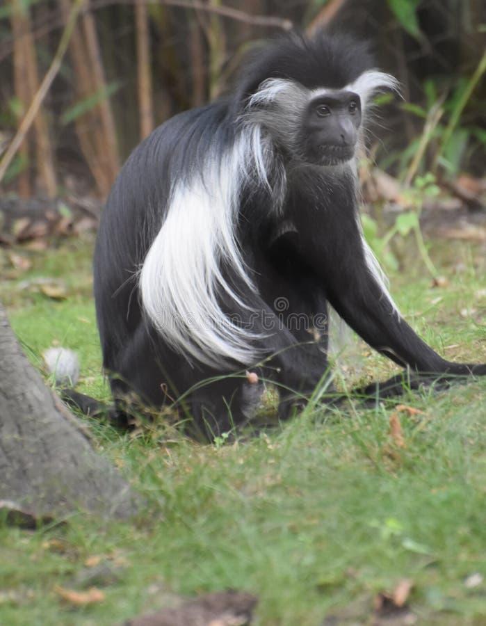 Длинная Limbed черно-белая обезьяна Colobus сидя в траве стоковые изображения rf