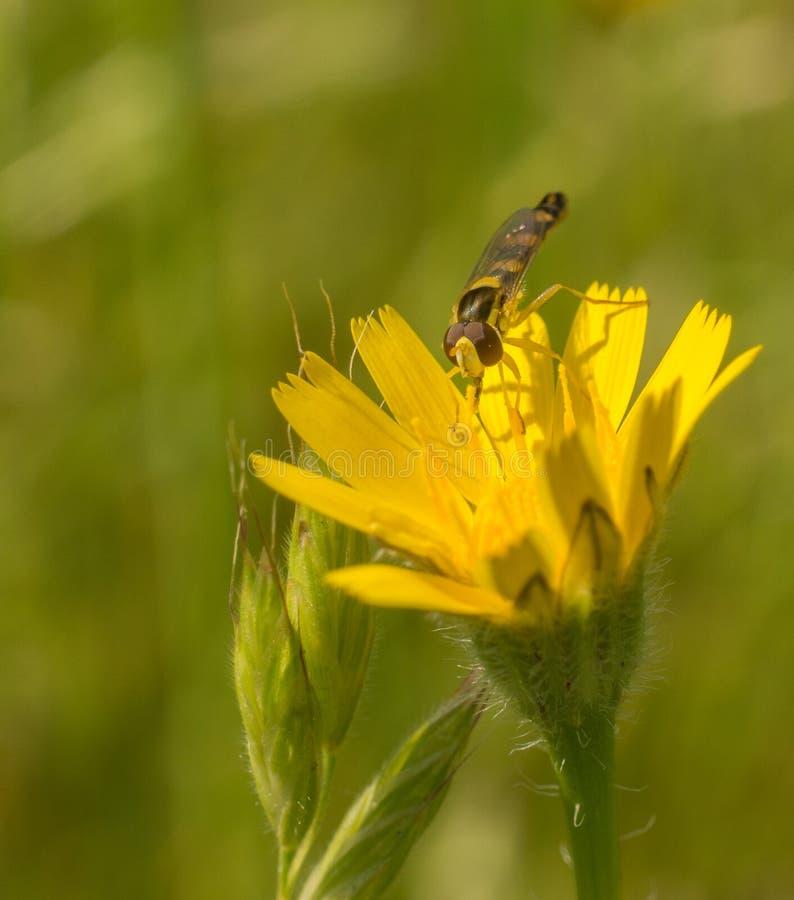 Длинное Howerfly на цветке желтого цвета сложноцветные стоковое фото