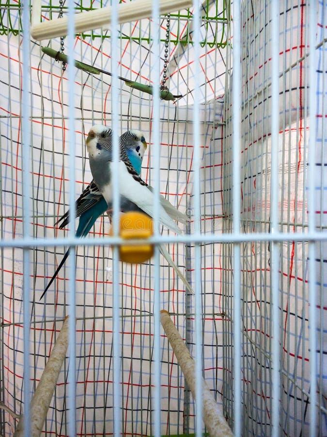 2 длиннохвостого попугая в симметрии стоковые фото