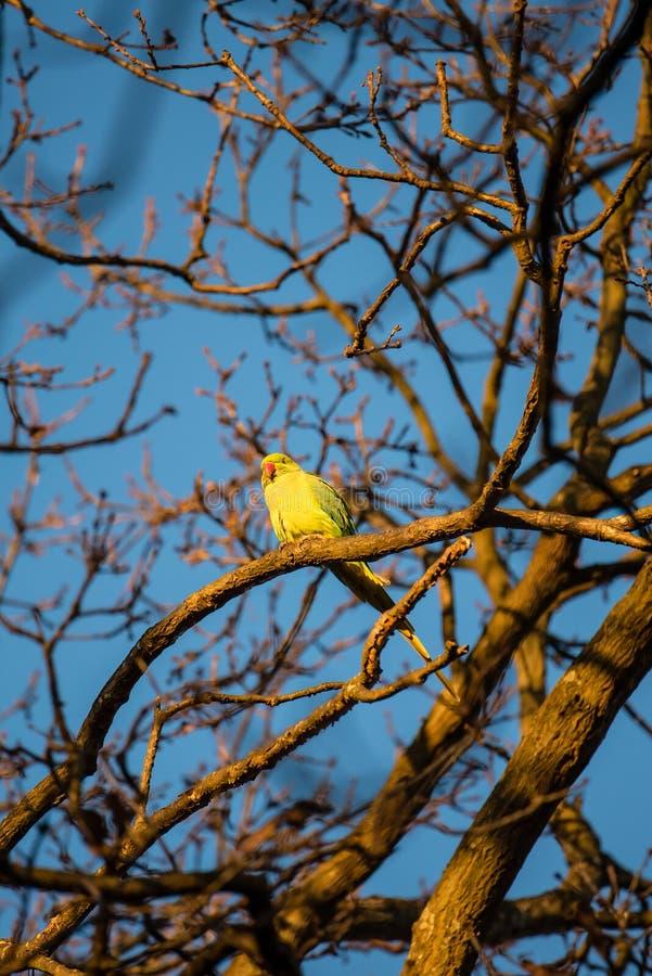 Длиннохвостый попугай на дереве стоковые изображения rf