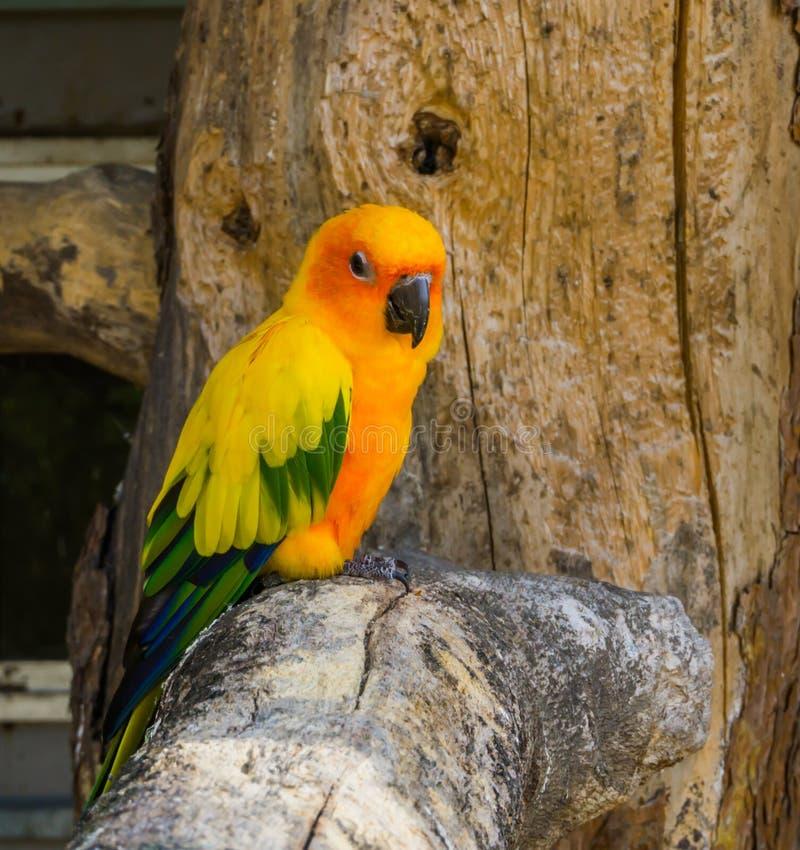Длиннохвостый попугай Jandaya сидя на ветви дерева в любимце крупного плана, популярных и красочных от Бразилии стоковые фото