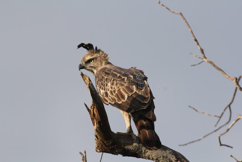 Длинные расстояния, диез наблюдают, цель изображения, Crested орел хоука, длинный чистосердечный гребень, редко витают, квартира  стоковое фото