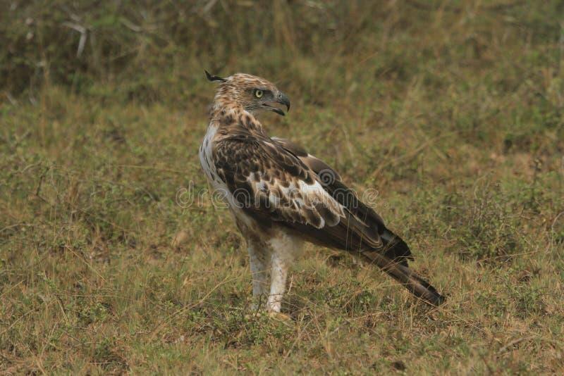 Длинные расстояния, диез наблюдают, цель изображения, Crested орел хоука, длинный чистосердечный гребень, редко витают, квартира  стоковое фото rf