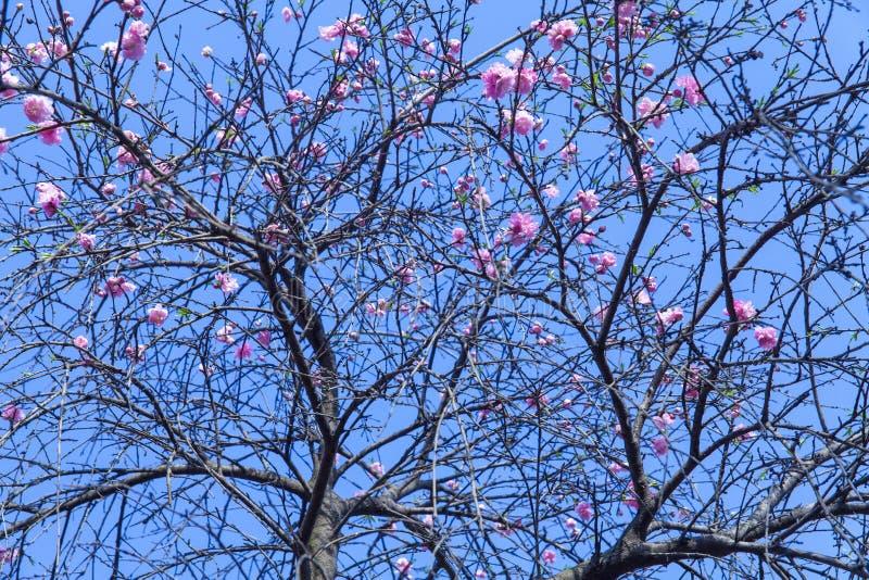 Длинные розовые цветения персика в парке весной красивы стоковое изображение rf