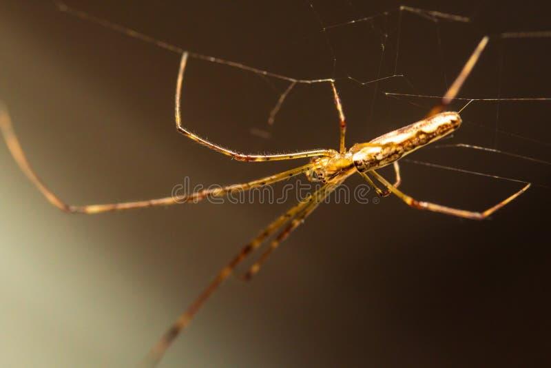 Длинный губочный паук ткача шара стоковое фото