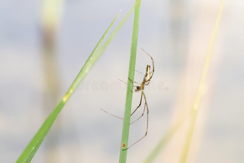 Длинный губочный паук Tetragnatha Orbweaver лежа в ожидании на Reed стоковые фото