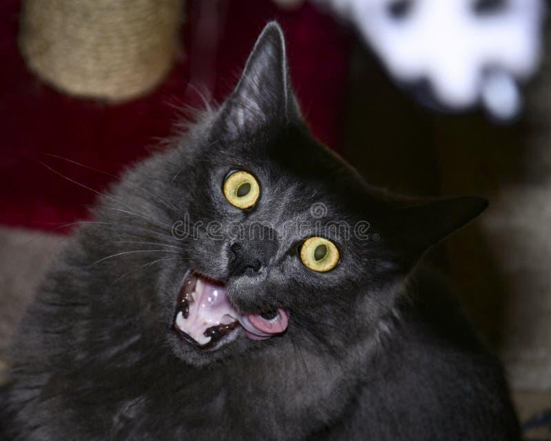 Длинный с волосами серый кот смотря шальной на камере с языком вне стоковое изображение