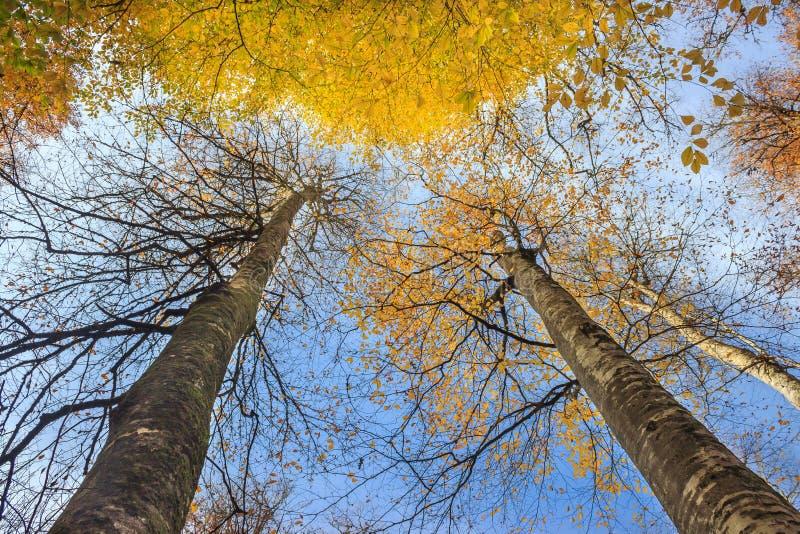 2 длинных дерева с пожелтетыми листьями в лесе на ландшафте осени Голубое небо и посмотреть вверх взгляд стоковые фотографии rf