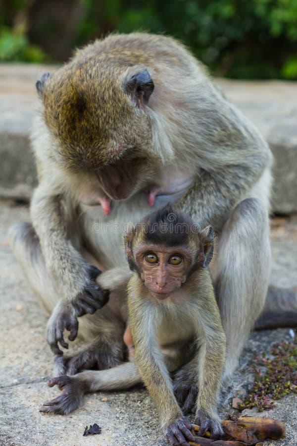Длинняя замкнутая обезьяна Macaque стоковое фото