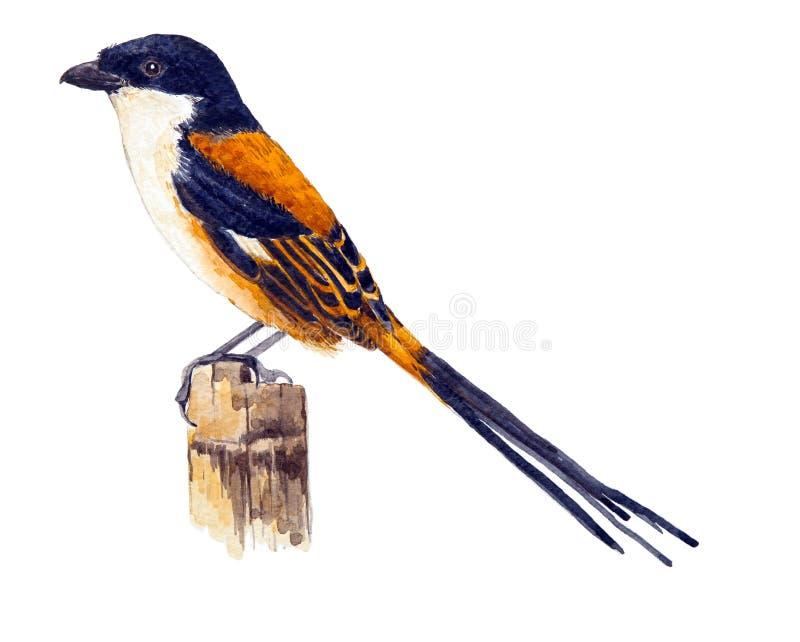 Длинн-замкнутое Shrike иллюстрация вектора
