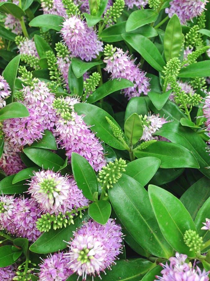Добавления Hebe сирени цветут также как Shrubby ` s Вероники стоковые изображения