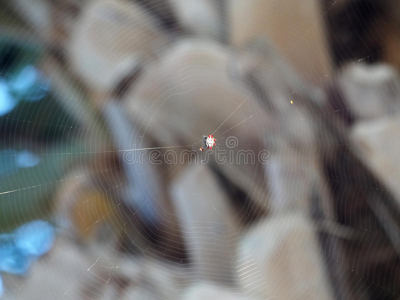 Добыча колючего паука ткача шара причаливая стоковое изображение
