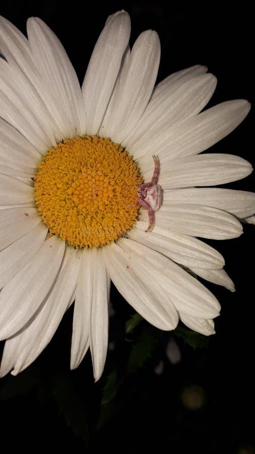 Добыча паука краба ждать стоковые изображения
