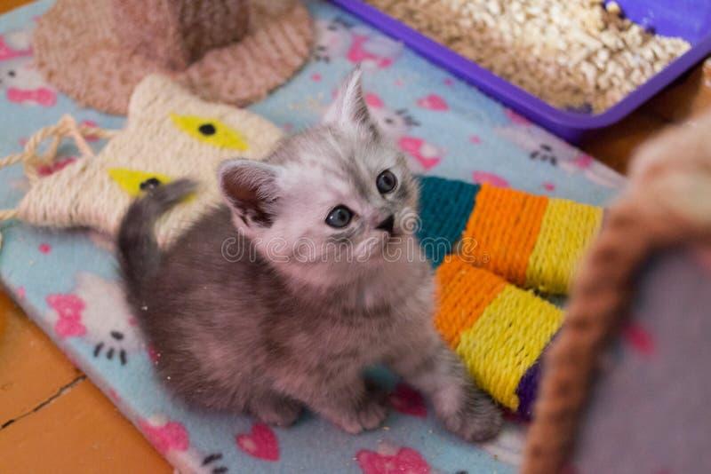 Довольно белый серый великобританский котенок сидя на доме кота и смотря вверх стоковые изображения